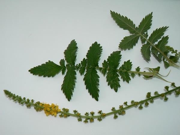 L'Aigremoine eupatoire (Agrimonia eupatoria) a des feuilles ...