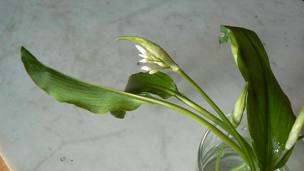 L'ail des ours (Allium ursinum) :