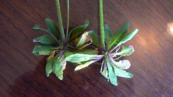 L'Arabette des dames (Arabidopsis thaliana) a les feuilles de la base ...