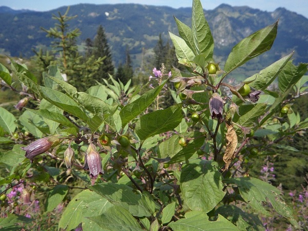 La belladone (Atropa belladona) :