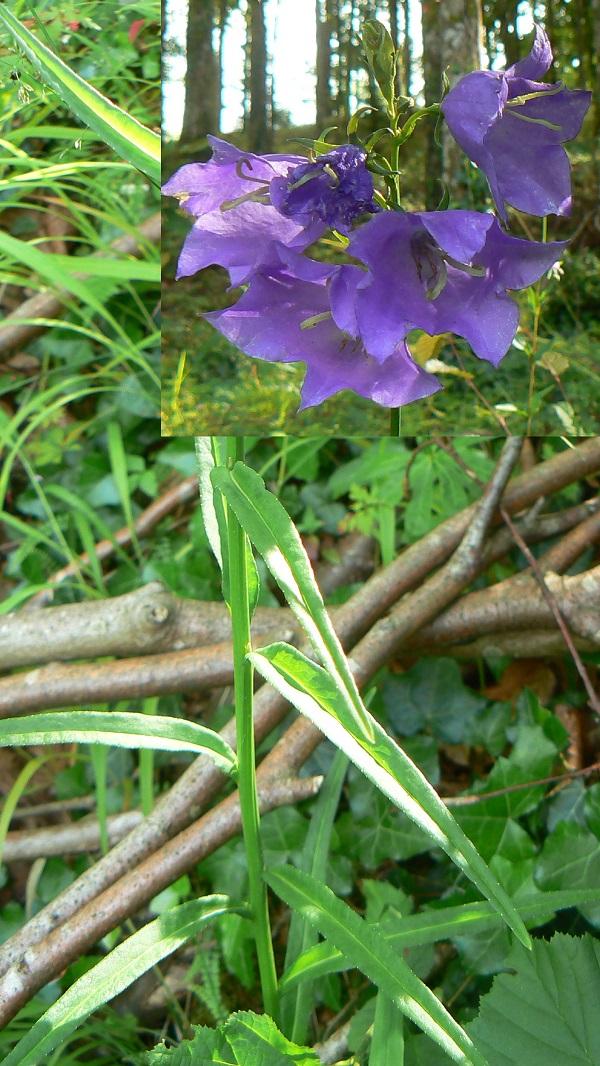 La Campanule à feuilles de pêcher (Campanula persicifolia) a des feuilles