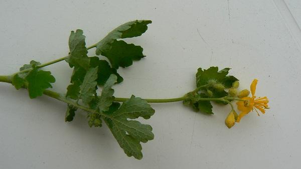 L'Herbe aux verrues (Chelidonium majus) a des feuilles...