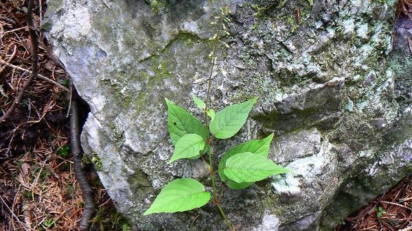 La Circée de Paris (Circea lutetiana) a des feuilles ...