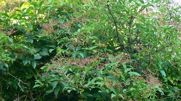 Le sureau noir (Sambucus nigra) :