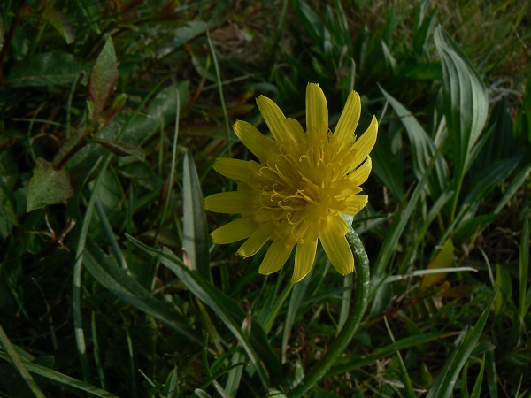 La fleur de Scorzoneria humilis ...
